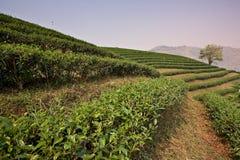 Zone de thé Images stock