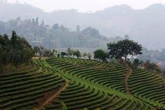 Zone de thé Images libres de droits