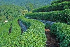 Zone de thé vert Photo libre de droits