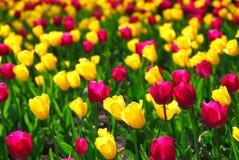 Zone de tulipe Image stock