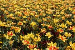 Zone de tulipe Photos stock