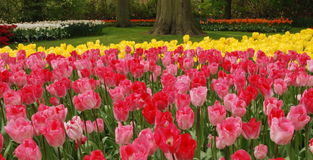 Zone de tulipe photos libres de droits
