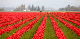 Zone de tulipe dans l'état de Washington Image libre de droits