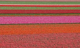 Zone de tulipe en Hollandes photographie stock