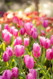 Zone de tulipes Photographie stock