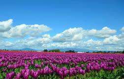 Zone de tulipes Photo stock