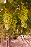 Zone de vigne photographie stock