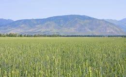 Zone des céréales panifiables Image libre de droits