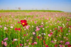 Zone des fleurs de cosmos Image libre de droits