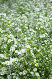 Zone des fleurs de marguerite Image stock