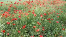 Zone des fleurs de pavot Images libres de droits