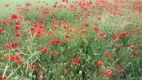 Zone des fleurs de pavot Photographie stock