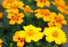 Zone des fleurs jaunes images libres de droits