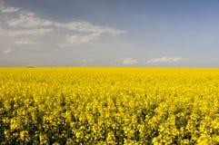 Zone des fleurs jaunes de graine de colza photos libres de droits