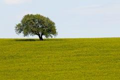 Zone des fleurs jaunes de graine de colza et de l'arbre simple photographie stock