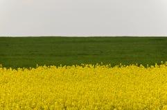 Zone des fleurs jaunes de graine de colza et de la collecte verte Photo stock