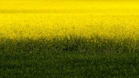 Zone des fleurs jaunes de graine de colza (napus de brassica) Photographie stock libre de droits