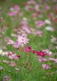 Zone des fleurs sauvages de cosmos Image stock
