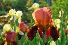 Zone des iris Image libre de droits