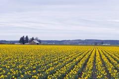 Zone des jonquilles jaunes photos libres de droits