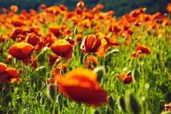 Zone des pavots clou de girofle ou fleur rouge dans le domaine Image libre de droits