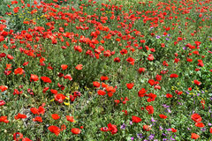 Zone des pavots rouges Photos stock