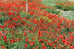 Zone des pavots rouges photos stock