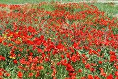 Zone des pavots rouges Photos libres de droits