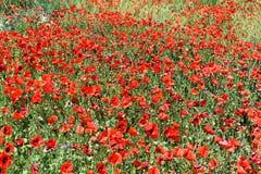 Zone des pavots rouges Photographie stock