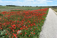 Zone des pavots rouges Photo stock