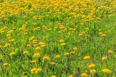 Zone des pissenlits jaunes Photographie stock