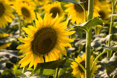Zone des tournesols. Photo stock