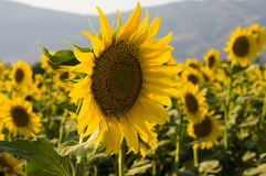 Zone des tournesols… Photos stock