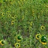 Zone des tournesols dans le village Image stock