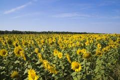 Zone des tournesols et du ciel bleu Photo stock