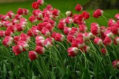 Zone des tulipes image stock