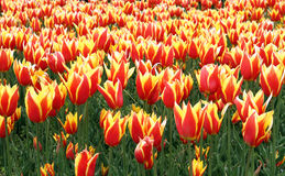 Zone des tulipes Images stock