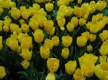Zone des tulipes Photographie stock libre de droits