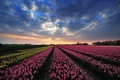 Zone des tulipes avec le coucher du soleil Photo stock