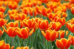 Zone des tulipes oranges Photo stock