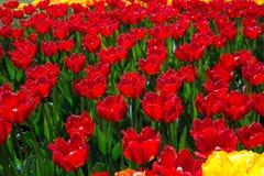 Zone des tulipes rouges Image libre de droits