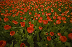 Zone des tulipes rouges Photo libre de droits