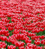 Zone des tulipes rouges Image stock