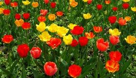 Zone des tulipes rouges et jaunes Photos libres de droits