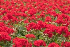 Zone des tulipes rouges Le jardin d'agrément rouge photo libre de droits