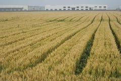 Zone et usine de maïs Photo libre de droits
