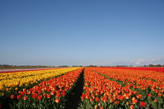 Zone hollandaise de tulipe photo stock