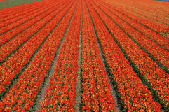 Zone hollandaise de tulipe photos stock