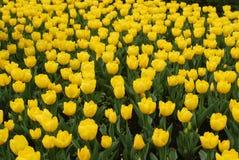 Zone jaune de tulipes Images libres de droits