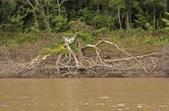 Zone ripicole d'une rivière de jungle Image libre de droits